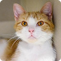 Domestic Shorthair Cat for adoption in Menands, New York - Coraline