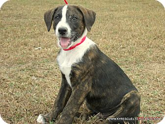 Mastiff/Labrador Retriever Mix Puppy for adoption in PRINCETON, Kentucky - Oddie/ADOPTED