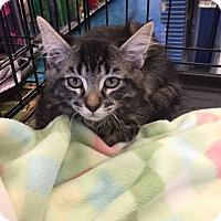 Adopt A Pet :: Serafina - Mansfield, TX