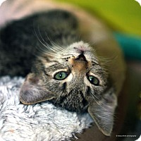 Domestic Shorthair Kitten for adoption in Tucson, Arizona - Hoth