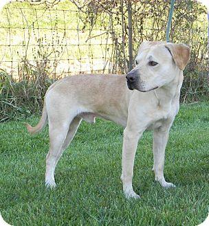 Labrador Retriever Mix Dog for adoption in Kankakee, Illinois - Cartman