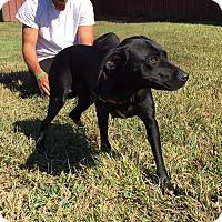 Adopt A Pet :: Belinda - reduced and in RI!! - Plainfield, CT