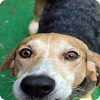 Treeing Walker Coonhound Dog for adoption in Fort Walton Beach, Florida - MALCOLM
