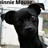 Adopt A Pet :: Minnie Mouse - Richland Hills, TX