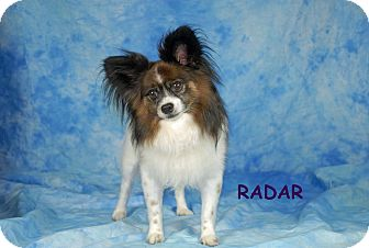 Papillon Dog for adoption in Ft. Myers, Florida - Radar