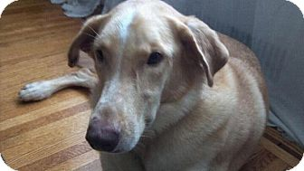 Golden Retriever/Greyhound Mix Dog for adoption in Long Beach, New York - Major
