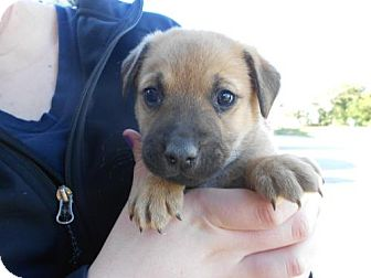 German Shepherd Dog Mix Puppy for adoption in Atascadero, California - Eric