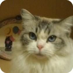 Ragdoll Cat for adoption in Ennis, Texas - Maggie