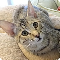 Adopt A Pet :: SASSY - Diamond Bar, CA