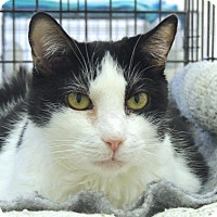 American Shorthair Cat for adoption in Pineville, North Carolina - Layla