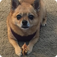 Adopt A Pet :: Trinket - Orange, CA