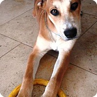 Adopt A Pet :: Lewis - Gilbert, AZ
