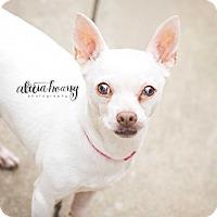 Chihuahua Mix Dog for adoption in Arlington, Texas - Tootsie