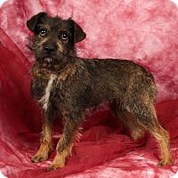 Adopt A Pet :: Sweetie SchnauzerMix - St. Louis, MO
