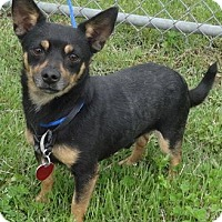 Chihuahua/Miniature Pinscher Mix Dog for adoption in Byhalia, Mississippi - Hercules