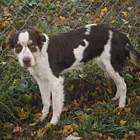 Brittany/Border Collie Mix Dog for adoption in Blowing Rock, North Carolina - TN/Addy