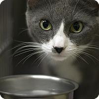 Domestic Shorthair Cat for adoption in Fremont, Nebraska - Star