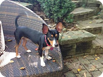 Miniature Pinscher/Chihuahua Mix Puppy for adoption in Houston, Texas - A - VICTOR