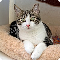 Domestic Shorthair Cat for adoption in Wilmington, Delaware - Harry
