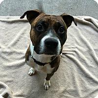 Adopt A Pet :: Ryker - Bernardston, MA