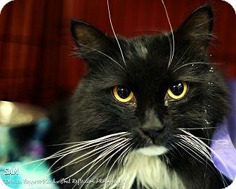 Domestic Longhair Cat for adoption in Appleton, Wisconsin - Sam
