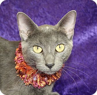 Russian Blue Cat for adoption in Jackson, Michigan - El