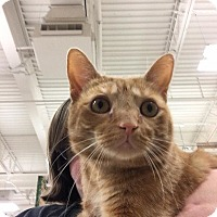 Domestic Shorthair Cat for adoption in Chicago, Illinois - Keaton