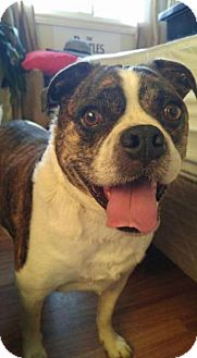 Boston Terrier/Bulldog Mix Dog for adoption in Lucknow, Ontario - SNICKERS
