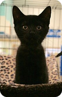 Domestic Shorthair Kitten for adoption in Sacramento, California - Jolie