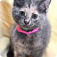 Domestic Shorthair Kitten for adoption in Fort Leavenworth, Kansas - Apple Jack