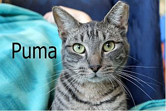 Domestic Shorthair Cat for adoption in Wichita Falls, Texas - Puma