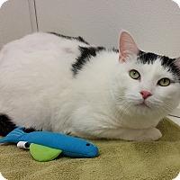 Domestic Shorthair Cat for adoption in Medfield, Massachusetts - Henry