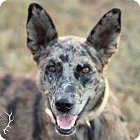 Adopt A Pet :: Phoebe - Joplin, MO