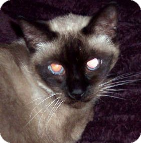 Siamese Cat for adoption in Summerville, South Carolina - Kimmy