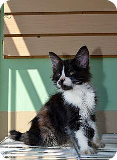 Domestic Mediumhair Kitten for adoption in El Cajon, California - TUX