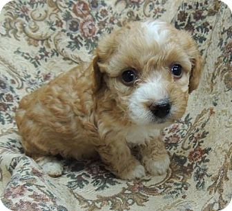 Shih Tzu/Yorkie, Yorkshire Terrier Mix Puppy for adoption in La Habra Heights, California - Petals