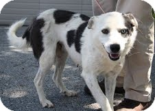 Australian Shepherd/Border Collie Mix Dog for adoption in Staunton, Virginia - Daphne($200 adoptionfee)