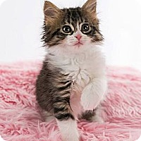 Adopt A Pet :: Bailey - Eagan, MN