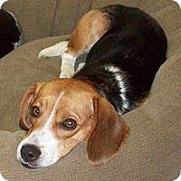 Adopt A Pet :: Clarre - Novi, MI