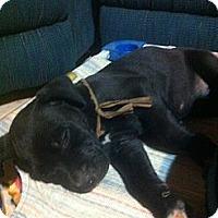 Adopt A Pet :: Razin - El Paso, TX