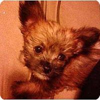 Adopt A Pet :: Lulu - Coral Springs, FL