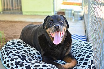 Rottweiler Dog for adoption in Acton, California - Kino