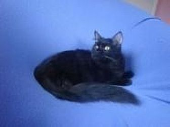 Oriental Cat for adoption in Sarasota, Florida - Emmett