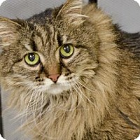 Domestic Longhair Cat for adoption in West Des Moines, Iowa - Lacy