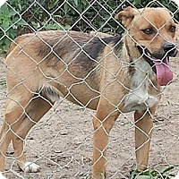 Golden Retriever Mix Dog for adoption in Albany, North Carolina - Tony