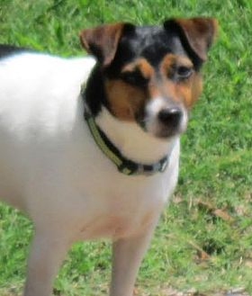 Jack Russell Terrier Dog for adoption in Greenville, South Carolina - Kali