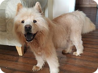 Chow Chow Dog for adoption in Newport, Kentucky - Snacks