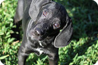 Labrador Retriever/Bloodhound Mix Puppy for adoption in Marion, North Carolina - T-Bone