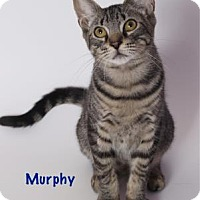 Domestic Shorthair Cat for adoption in Baton Rouge, Louisiana - Murphy