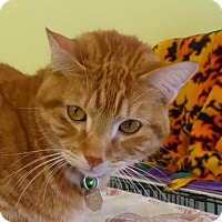 Domestic Shorthair Cat for adoption in Westminster, Colorado - Oscar